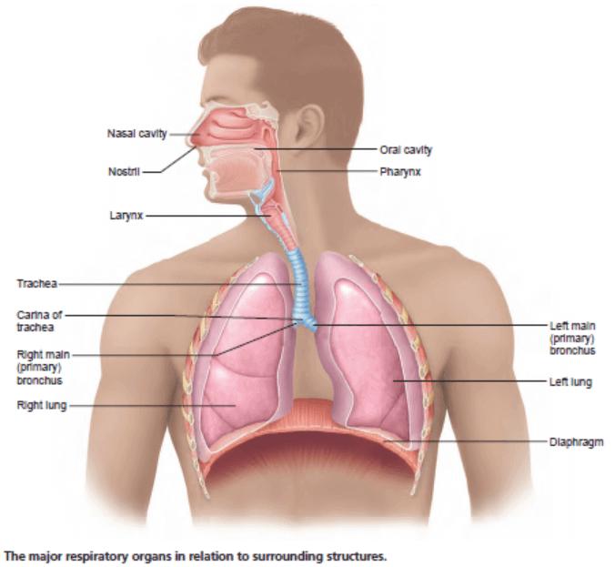 مکانیزم تنفس تنفس، اکسیژن موجود در هوا را به درون ریه¬ها برده و در تماس نزدیک با خون، اکسیژن به خون انتقال یافته و توسط دستگاه گردش خون به تمامی قسمت¬های بدن منتقل می¬گردد. در همین زمان، دی¬اکسید کربن (CO2) موجود در خون که از تمامی قسمت¬های بدن جمع¬آوری می¬گردد به ریه¬ها منتقل شده و با بازدم از دستگاه تنفس خارج می¬شود.