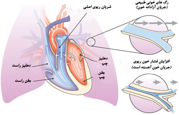 چگونگی جریان خون در قلب و ریه ها