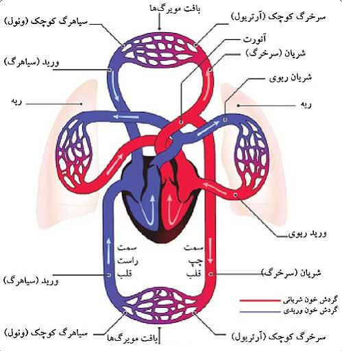 گردش خون در قلب، ریه و سایر اندام ها